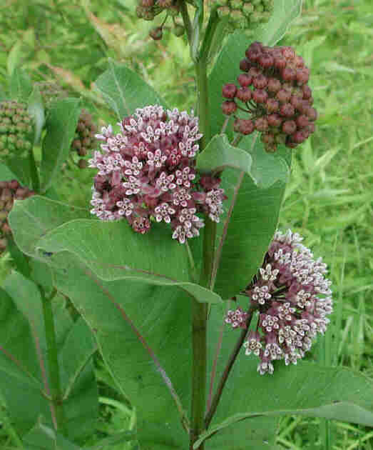 Common milkweed plant - photo#13